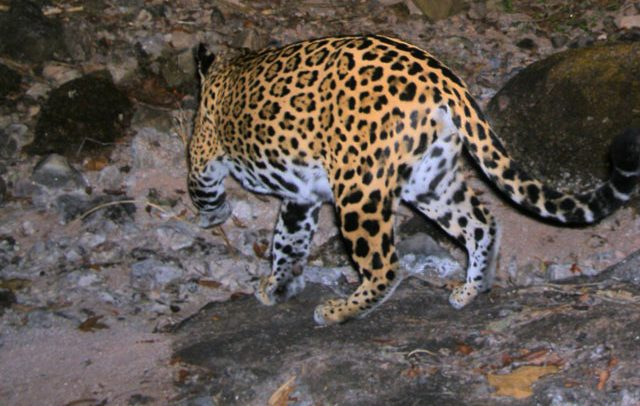 Alianza Jaguar